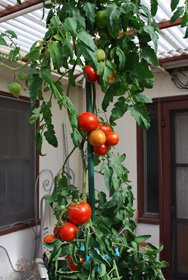 Growing Tomatoes in Pots, 'Carmello'