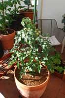 'Carmello' Tomato Growing in a 15-gallon Terra-Cotta Pot--Week 3