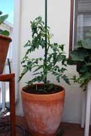 'Carmello' Tomato Growing in a 15-gallon Terra-Cotta Pot--Week 4