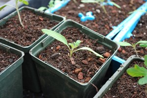 Tomato Seedling Transplanted to a 4