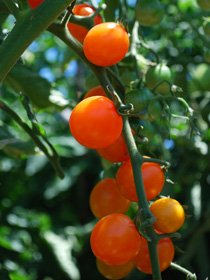 Cherry Tomato Varieties—'Sungold'