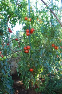 Heirloom Tomato—'Carmello' Grown 'Italian Grandfather Style'