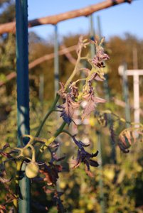 Tomato Diseases–Western Yellows (Curly Top)