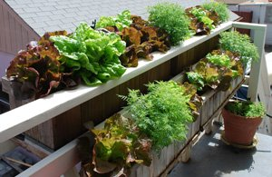 Growing Lettuce in a Window Box