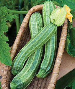 'Italian Ribbed' zucchini produce light green zucchini with pronounced ridges, so slices are star-shaped.