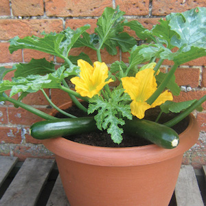 'Patio Star' is a compact zucchini that's great for growing in containers.